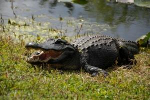 alligator (1 of 1)