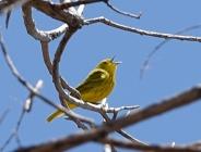 32-Yellow Warbler