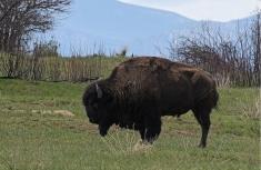 45-Bison