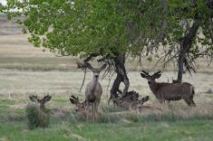 47-Mule Deer