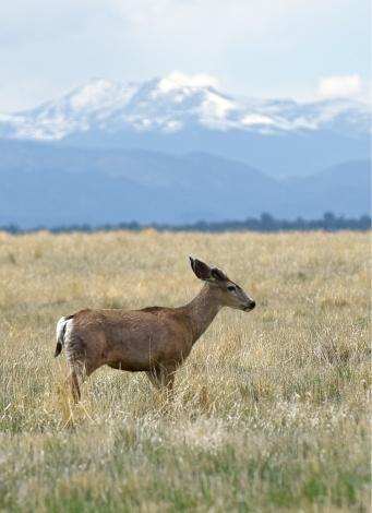 49-Mule Deer