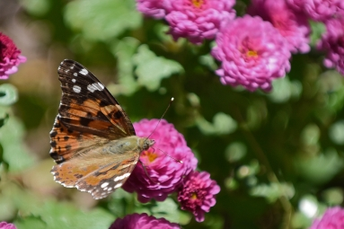 Butterfly on Mums-4