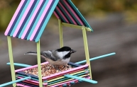 80 Black-capped Chickadee, 7007