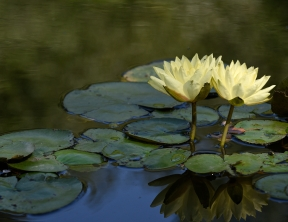 1167, Water Lily